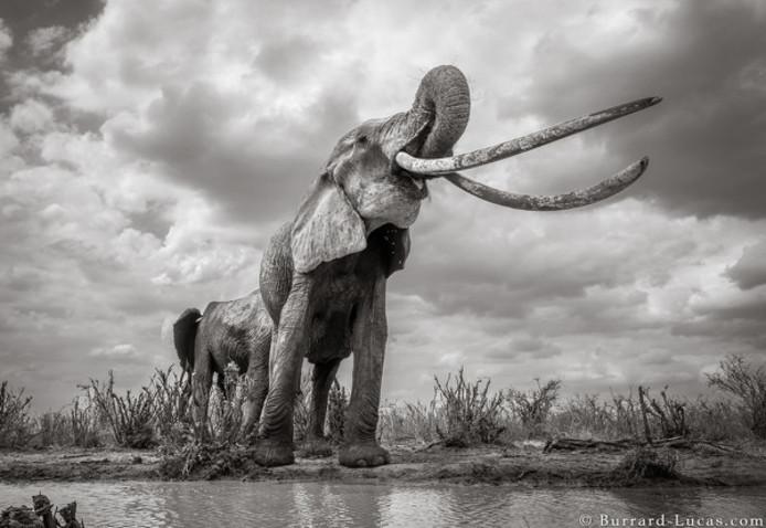 De reuze-olifant in Tsavo.