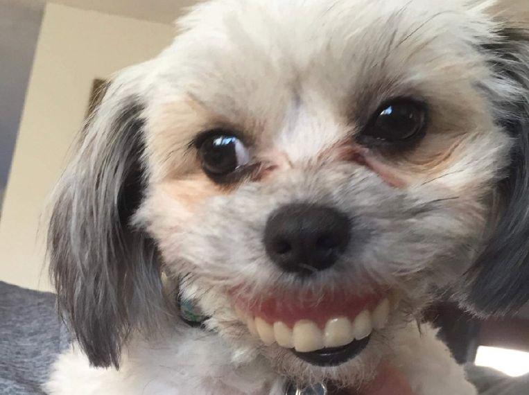 Bedwelming Lach eens voor de foto! Hond gaat ervandoor met vals gebit | Het &UW37