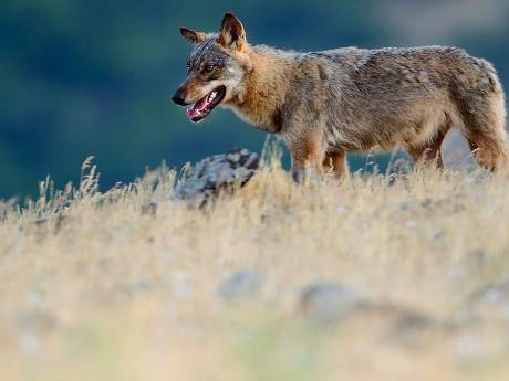 'De wolf krijgt veel te snel de schuld'