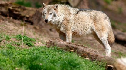 Duitse boeren willen einde aan jachtverbod op wolven