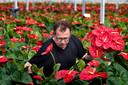 Joan Wijnen snijdt de Anthuriumbloemen in zijn kassen in Asten.