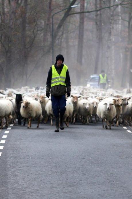 350 schapen steken over van Helvoirt naar Biezenmortel