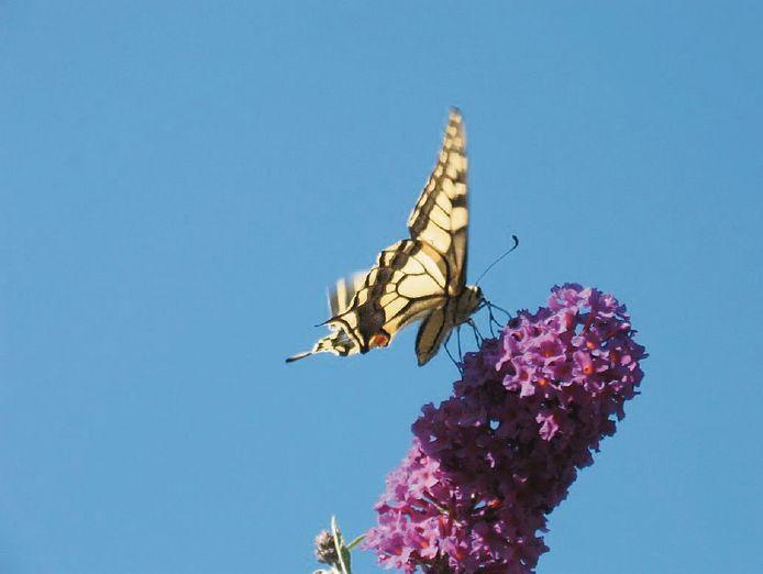 De koninginnepage op een vlinderstruik. De prachtige vlinder is zeldzaam in Oost-Nederland.