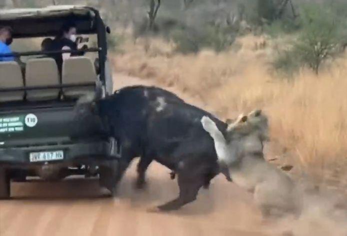 En plein safari, un buffle rentre dans un 4x4 de touristes pour échapper à des lions.