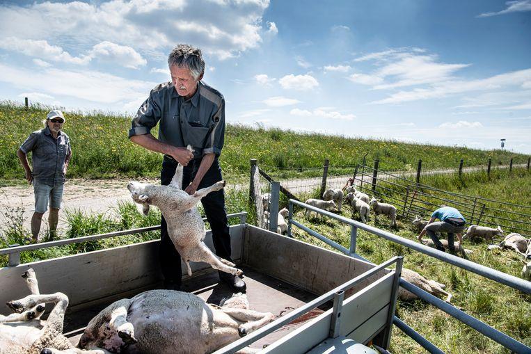 Vorige week werden in Heusden bij schapenboer Jos Verhulst schapen doodgebeten. Beeld Koen Verheijden