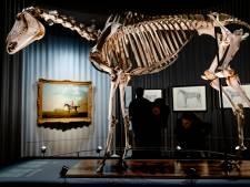 Er staat een paard in het museum, en het is het beroemdste renpaard van de wereld