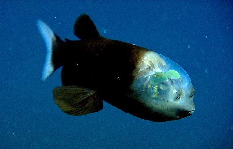 Een spookvis. Beeld Still