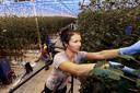 Handwerk door arbeidsmigranten in een Dinteloordse kas.