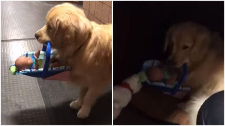 Therapiehond Ben Franklin met zijn buit.