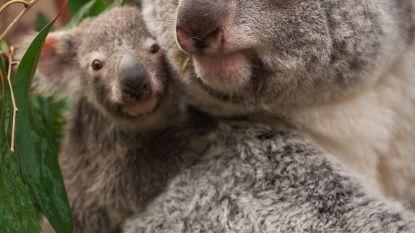 Koalababy geboren in Planckendael