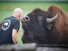 Bizons brengen Wild West-taferelen in Geffense polder