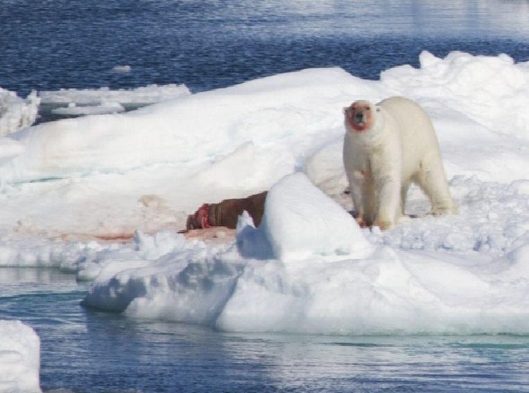 Een ijsbeer heeft zijn maaltijd te pakken: een walrus. Beeld Brett Thornton